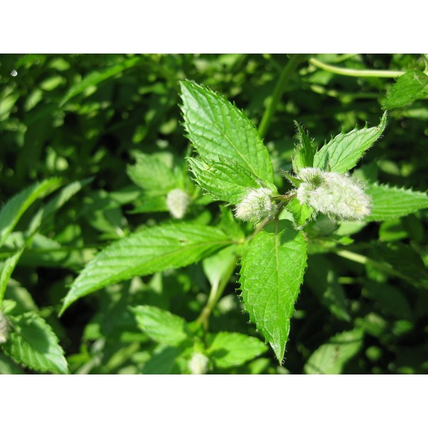 Óleo Essencial de Menta Piperita (Hortelã Pimenta) 10ml Flora Fiora