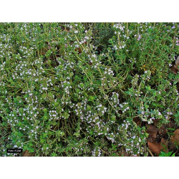 Óleo Essencial de Tomilho – 10ml Flora Fiora