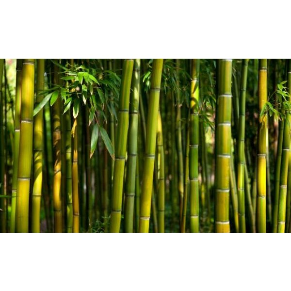 Essência Bambu 50ml (lipossolúvel)