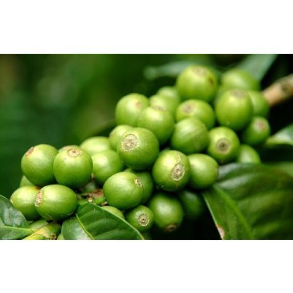 Óleo de Café Verde 50ml