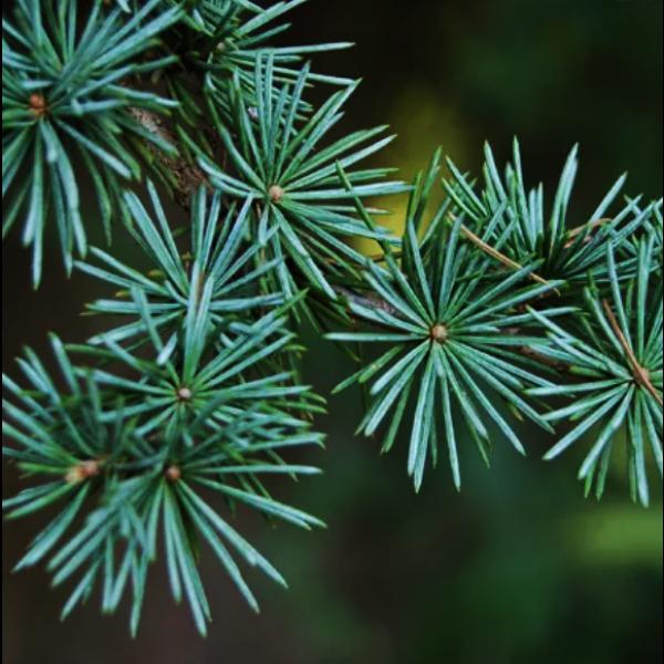 Óleo Essencial de Cedro 10ml Flora Fiora