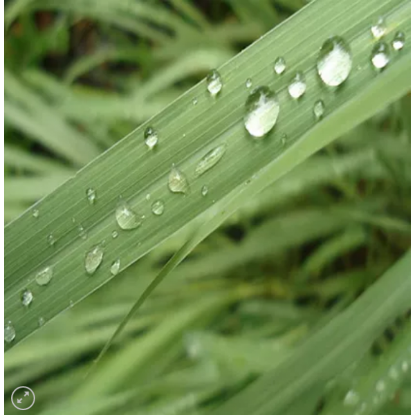 Óleo Essencial de Lemongrass (Capim Limão) 10ml Flora Fiora