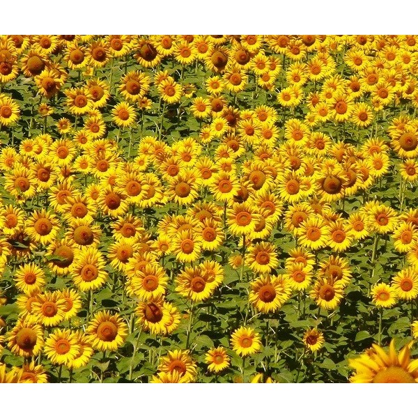 Óleo Vegetal de Girassol Flora Fiora