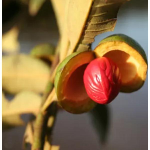 Manteiga de Ucuúba - Flora Fiora